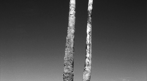 Salton Sea (Dead Palm Trees), 2014