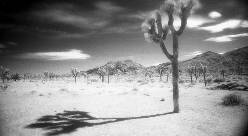 Joshua Tree (Shadow), 2008